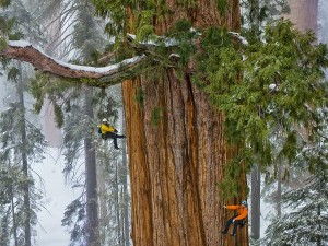 giant-sequoia-trees-grow-faster-in-old-age_61972_600x450